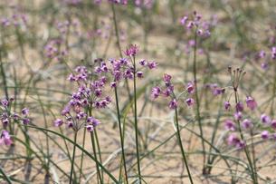 らっきょの花の写真素材 [FYI04279527]