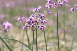 らっきょの花の写真素材 [FYI04279528]