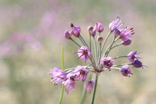 らっきょの花の写真素材 [FYI04279529]