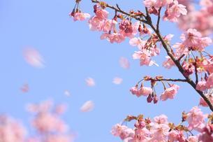 ヨウコウザクラの散る花びらの写真素材 [FYI04280868]