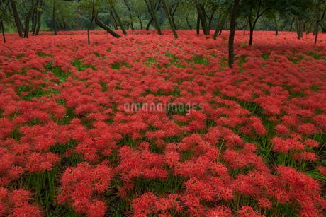 彼岸花の森の写真素材 [FYI04281179]