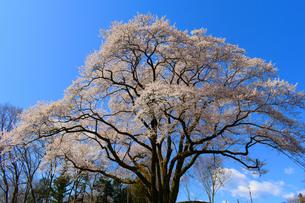 寄居町 鉢形城の桜 氏邦桜  の写真素材 [FYI04283332]