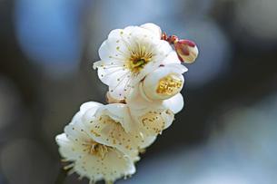 梅の花の写真素材 [FYI04283344]