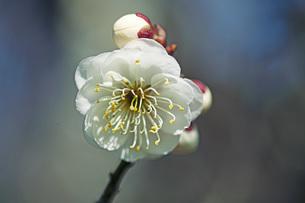 梅の花の写真素材 [FYI04283346]