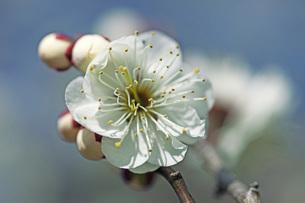 梅の花の写真素材 [FYI04283347]