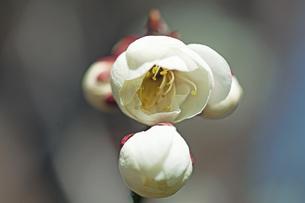 梅の花の写真素材 [FYI04283349]