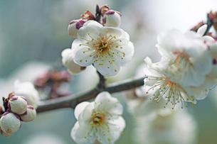梅の花の写真素材 [FYI04283351]