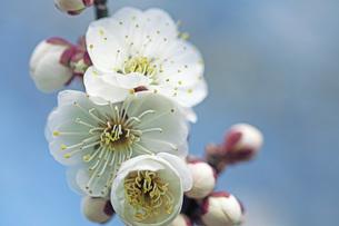 梅の花の写真素材 [FYI04283352]