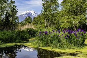 新緑とあやめと富士山の写真素材 [FYI04283380]