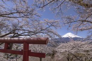 富士見考徳公園から望む桜と富士山の写真素材 [FYI04283404]