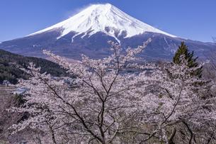 富士吉田市の桜と富士山の写真素材 [FYI04283405]