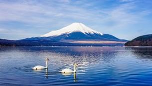 朝の富士山、山中湖の白鳥と鏡富士の写真素材 [FYI04283409]