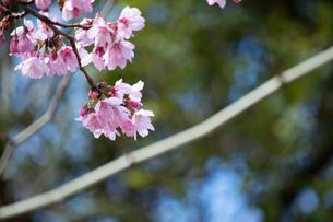 桜の季節の写真素材 [FYI04283455]