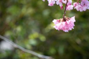 桜の季節の写真素材 [FYI04283456]