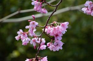桜の花びらの写真素材 [FYI04283457]