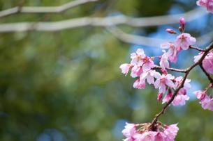 桜の季節の写真素材 [FYI04283458]
