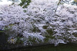 弘前公園の桜の写真素材 [FYI04283461]