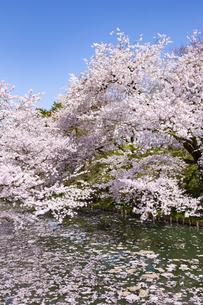 弘前公園  桜と花筏(はないかだ)の写真素材 [FYI04283466]