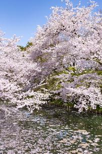 弘前公園  桜と花筏(はないかだ)の写真素材 [FYI04283467]