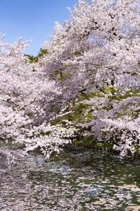弘前公園  桜と花筏(はないかだ)の写真素材 [FYI04283468]