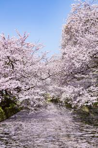 弘前公園  桜と花筏(はないかだ)の写真素材 [FYI04283469]