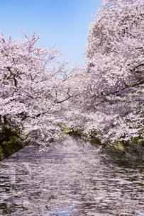 弘前公園  桜と花筏(はないかだ)の写真素材 [FYI04283470]