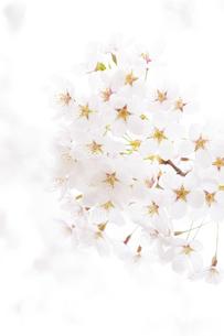 弘前公園の桜の写真素材 [FYI04283485]