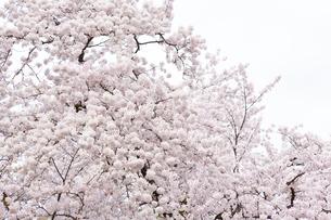 弘前公園の桜の写真素材 [FYI04283488]