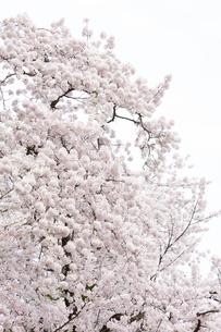 弘前公園の桜の写真素材 [FYI04283489]