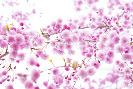 八重紅しだれ桜 芦野公園の写真素材 [FYI04283501]