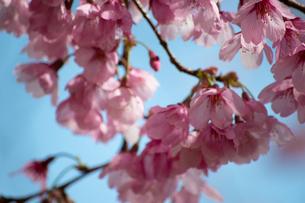 桜の花びらの写真素材 [FYI04283510]