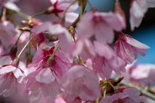 桜の季節の写真素材 [FYI04283511]