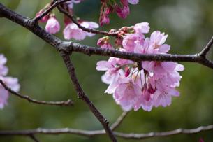 桜の季節の写真素材 [FYI04283513]
