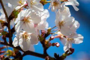 桜の写真素材 [FYI04283536]