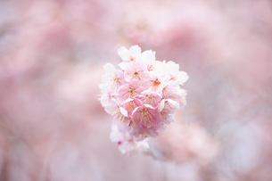 桜の花のアップの写真素材 [FYI04283575]