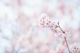 桜の花の写真素材 [FYI04283576]