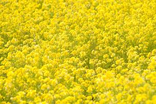 菜の花の写真素材 [FYI04283577]