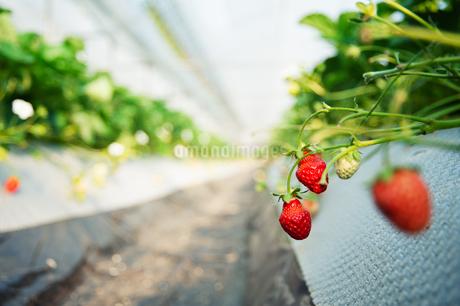 いちご農園の写真素材 [FYI04283578]