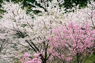 桜の木の写真素材 [FYI04283582]