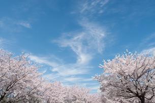 青空と桜並木の写真素材 [FYI04283612]