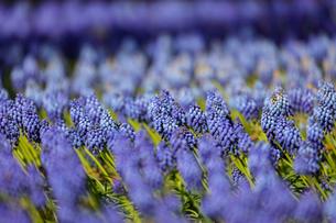 ムスカリの花畑の写真素材 [FYI04283620]