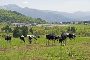 高原の牛の写真素材 [FYI04283669]