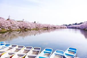弘前公園  西濠の桜並木とボートの写真素材 [FYI04283769]