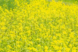 菜の花畑の写真素材 [FYI04283772]