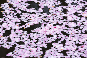 桜の花びらたち  弘前公園の花筏(はないかだ)の写真素材 [FYI04283797]