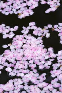 桜の花びらたち  弘前公園の花筏(はないかだ)の写真素材 [FYI04283801]