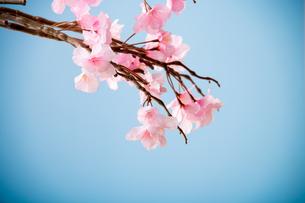 アーティフィシャルフラワーの桜 青背景の写真素材 [FYI04283819]