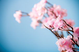 アーティフィシャルフラワーの桜 青背景の写真素材 [FYI04283826]