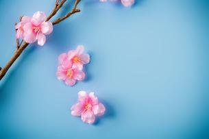 アーティフィシャルフラワーの桜 青背景の写真素材 [FYI04283830]