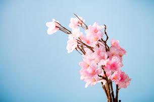 アーティフィシャルフラワーの桜 青背景の写真素材 [FYI04283832]